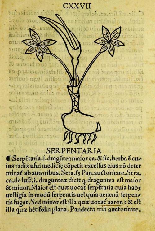 Аристолохия или кирказон змеевидный